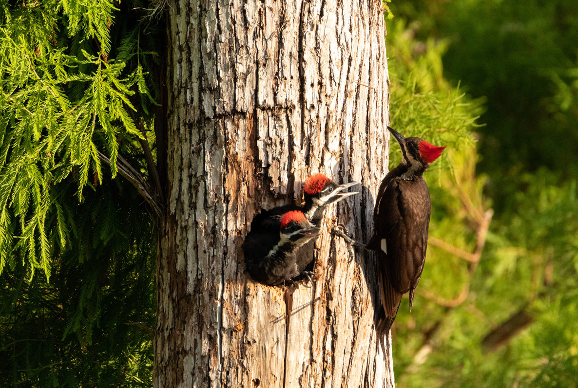 Woodpeckers of The Okefenokee Swamp